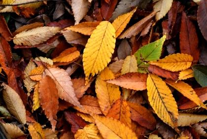 Autumn_Leaf_08Nov17.jpg