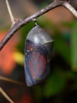 butterfly-still-in-cocoon