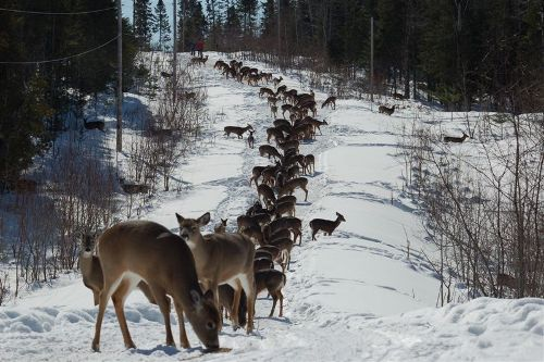 deer in snow