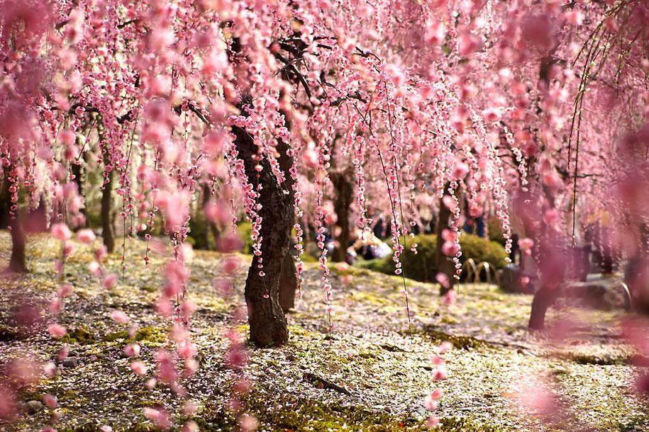 2014-japanese-cherry-blossom-blooming-sakura-5