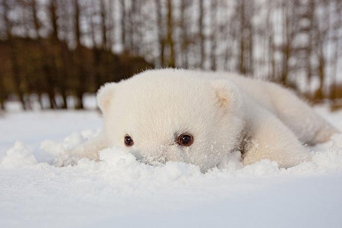 146002-Baby-Polar-Bear-Eating-Snow-Fo-Ama1