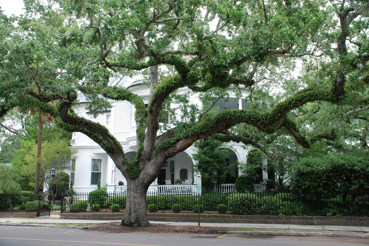 Georgia oak tree