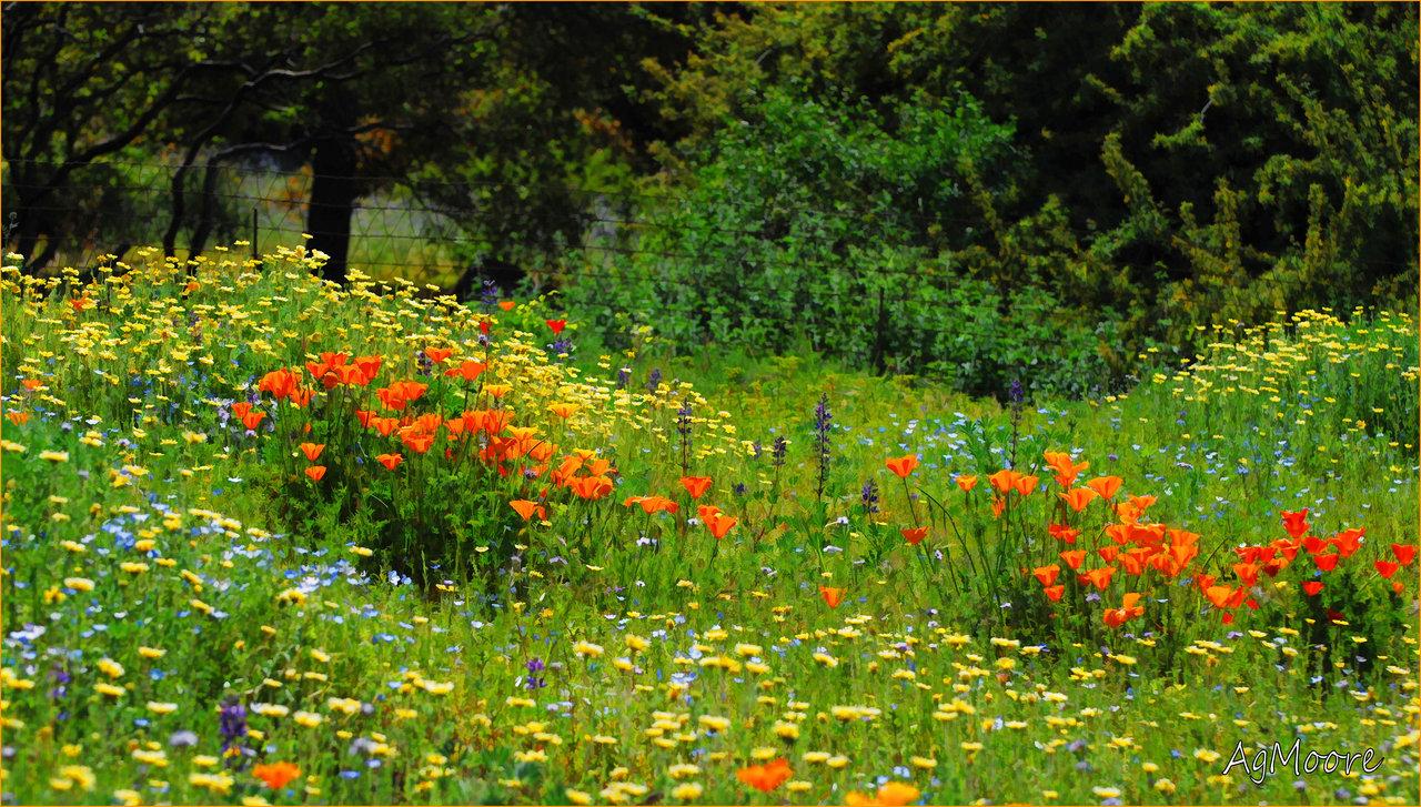 wild_flower_field_in_descanso_by_amandamoore-d35wk0x