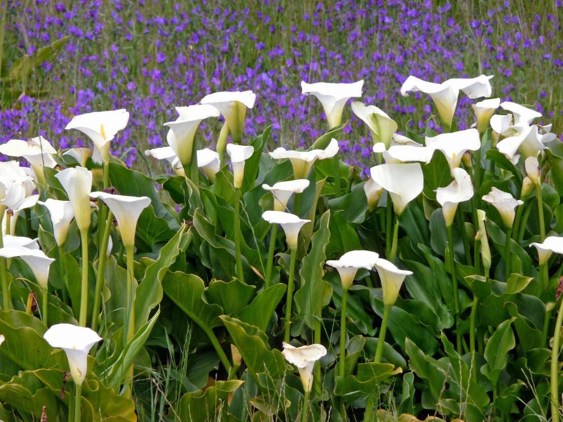 Wild_flowers_South_Africa