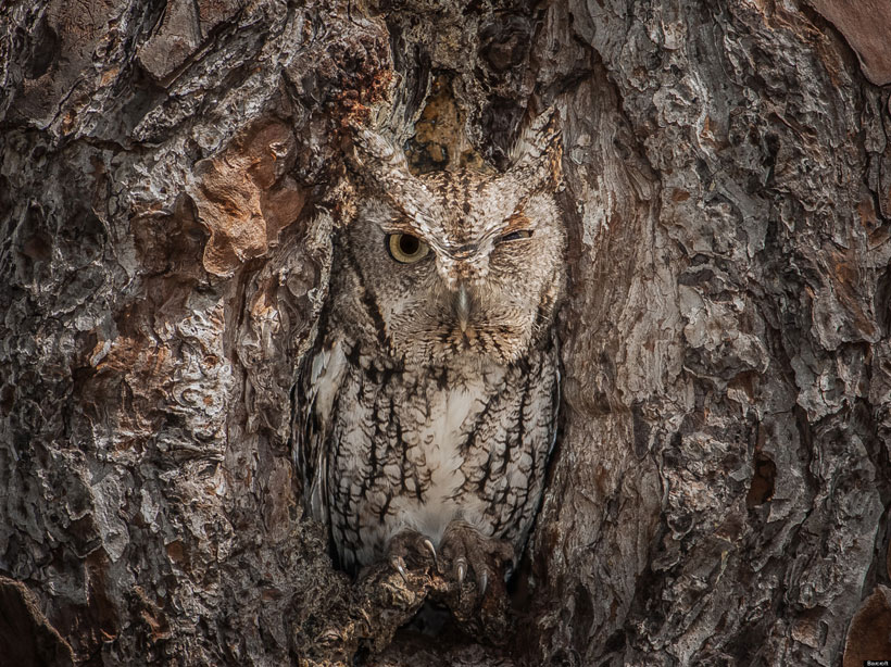 Owl_camouflage_nature_4