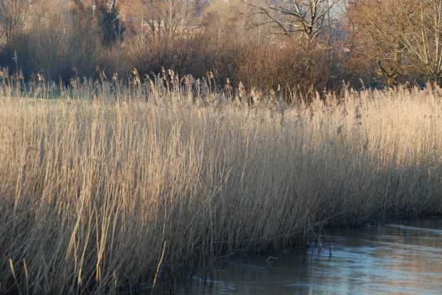 Reed_beds_-_River_Nadder_at_Harnham