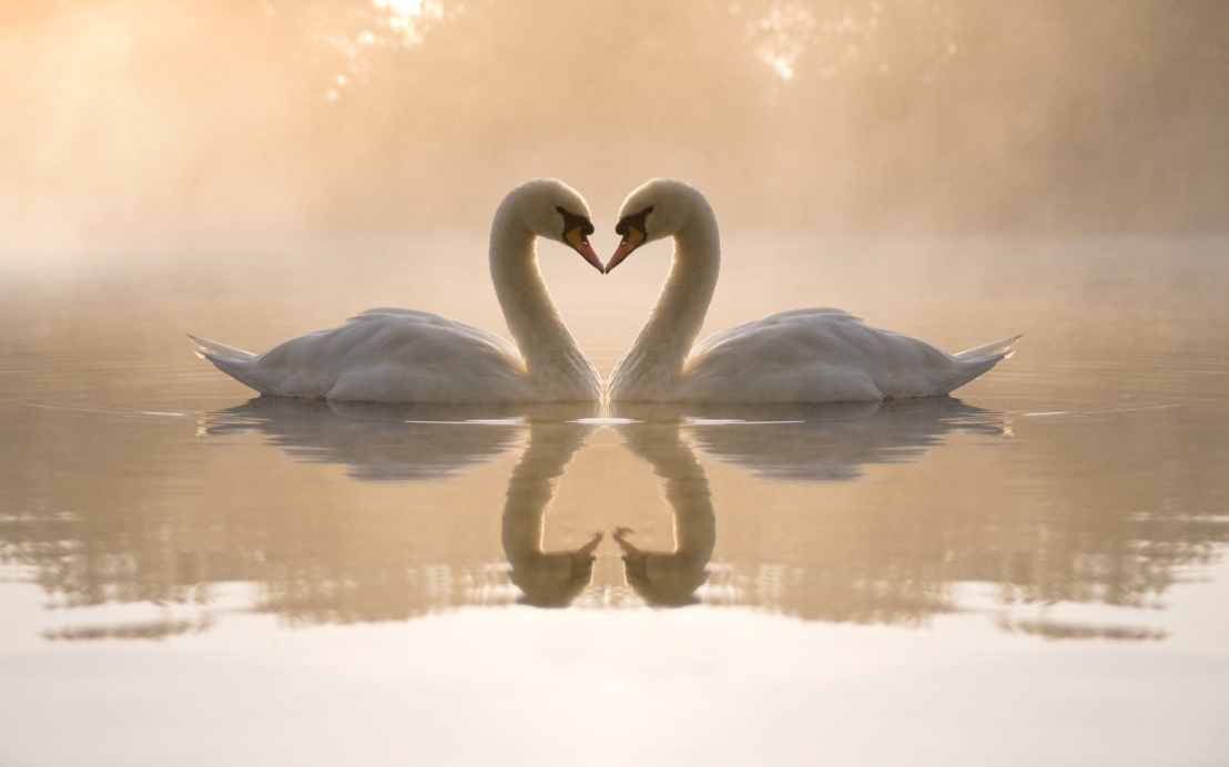 swan-heart.png