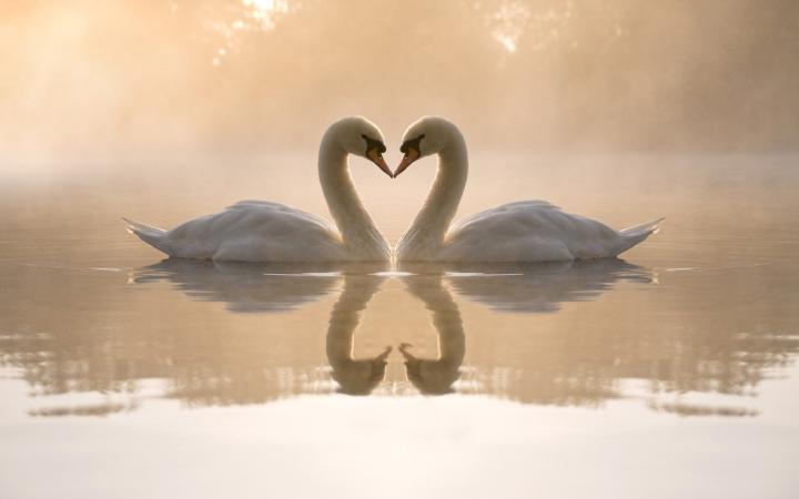 swan-heart.png