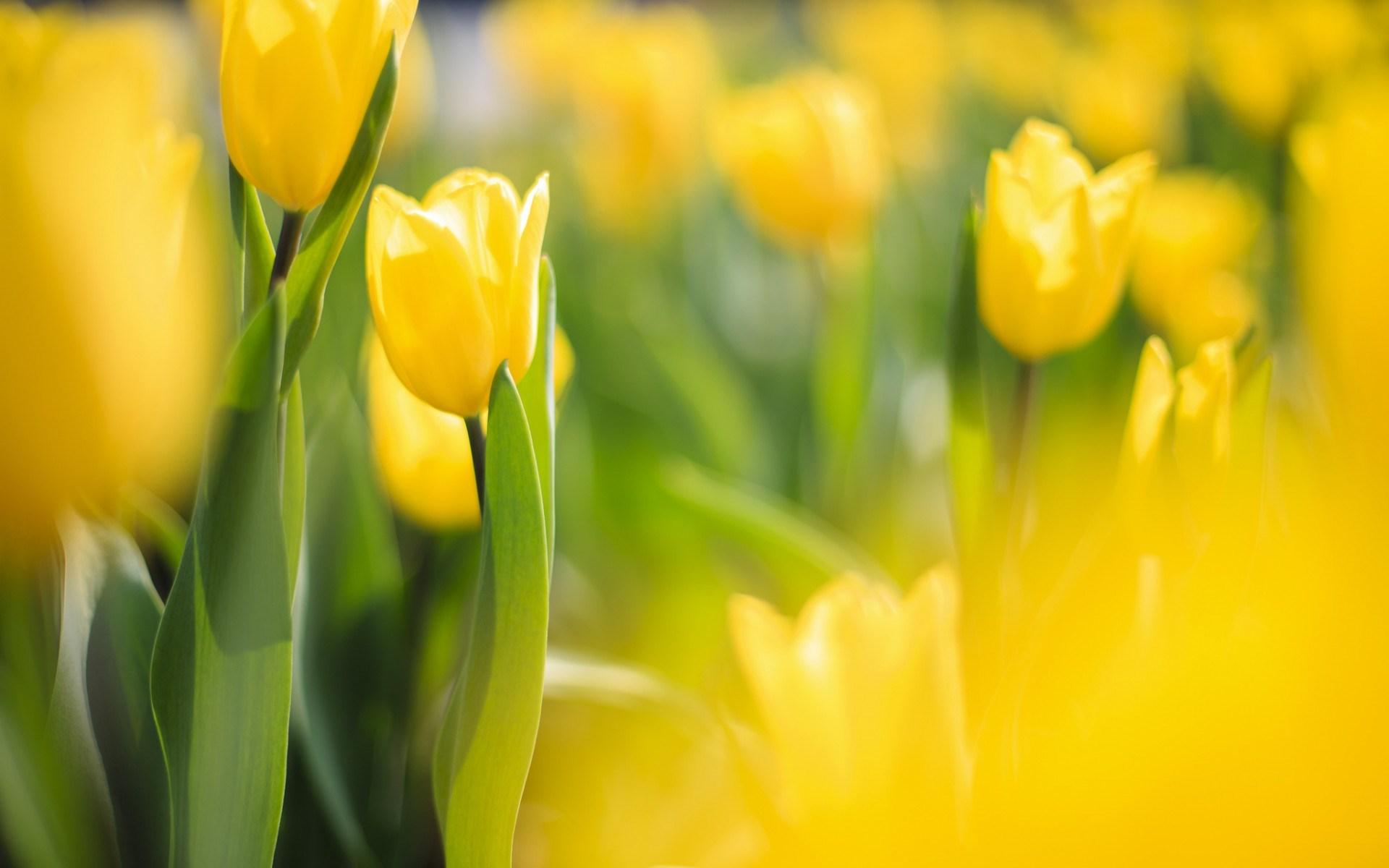 spring-tulip-flowers-yellow-macro-blur-photo-nature-hd-wallpaper